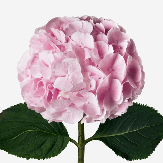 Hydrangea20Light20Pink20Flower20Venera20Flowers202 1