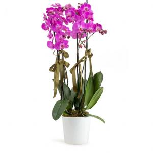 Orchid20Pink20420Stems20Plant20Venera20Flowers 1