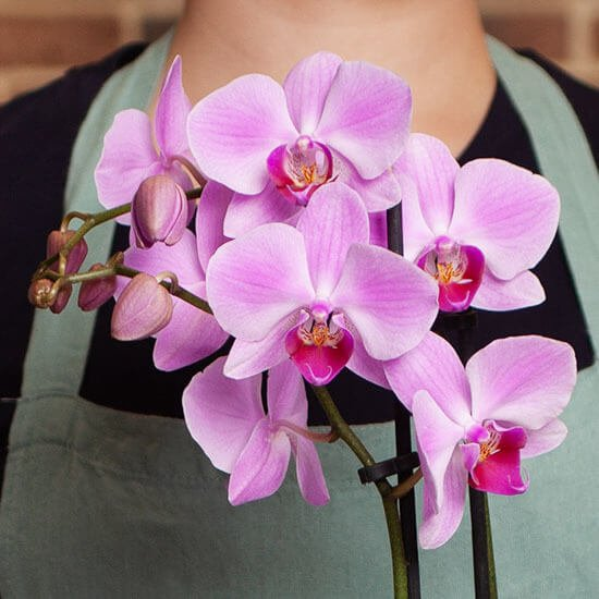 Orchid20Pinky20Plant20Venera20Flowers202 1