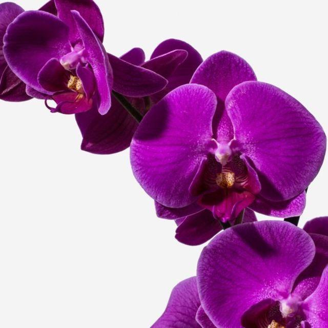 Orchid20Purple20Plant20Venera20flowers202 1