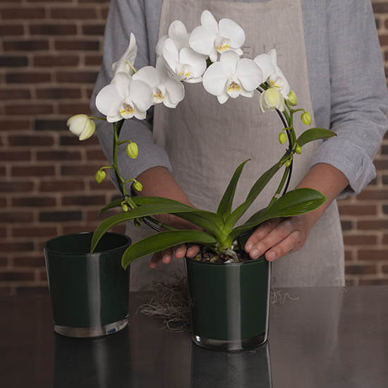 Orchid20White20Home20Plant20Venera20Flowers201 1