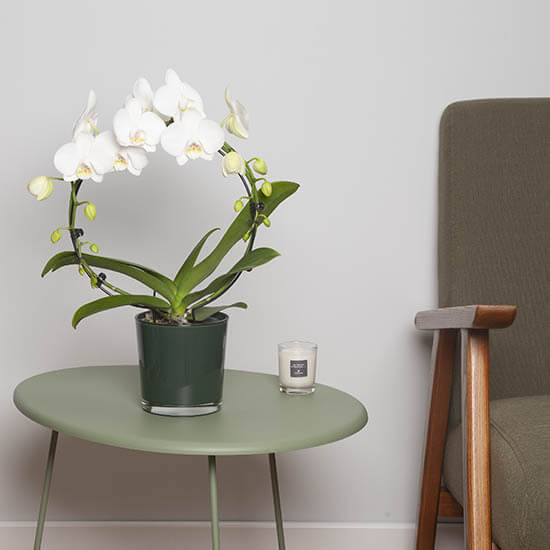 Orchid20White20Home20Plant20Venera20Flowers202 1