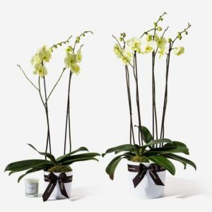 Orchid20Yellow20Plant20Venera20flowers201 1
