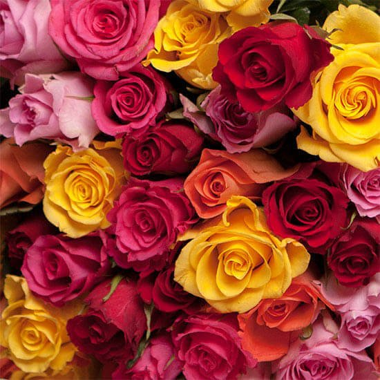Rose20Red20Yellow20Orange20And20Pink20Flower20Venera20Flowers202 1