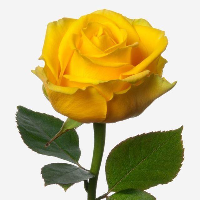 Rose20Yellow20Flower20Venera20Flowers202 1