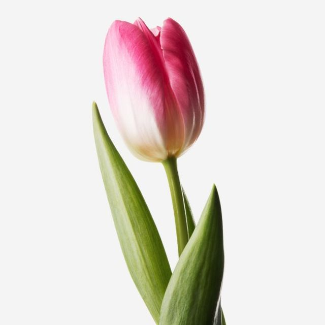 Tulip20Pink20Fresh20Flower203520Flower20Venera20Flowers202 1